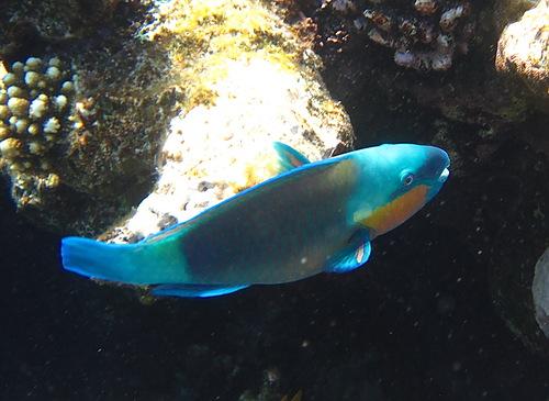 riba-popugay